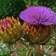 Artichoke Leaf Extracts Potential In Lowering Cholesterol